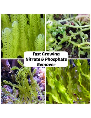 Fast Growing Nitrate & Phosphate Remover Macro Algae Algae-Pack