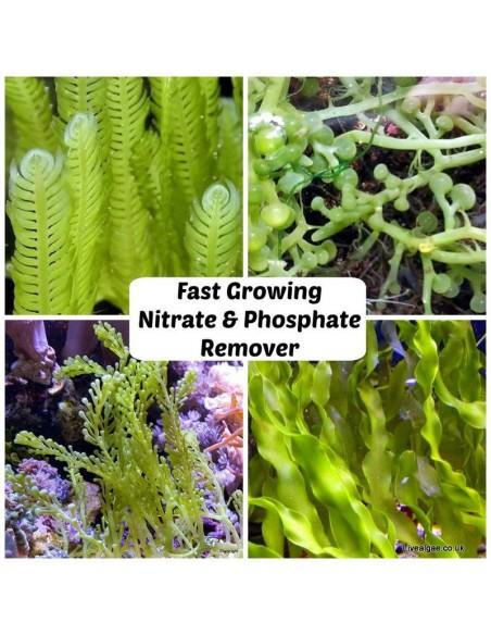 Fast Growing Nitrate & Phosphate Remover Algae-Pack