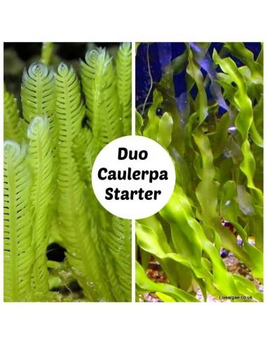 Duo Caulerpa marine macro algae Starter Set