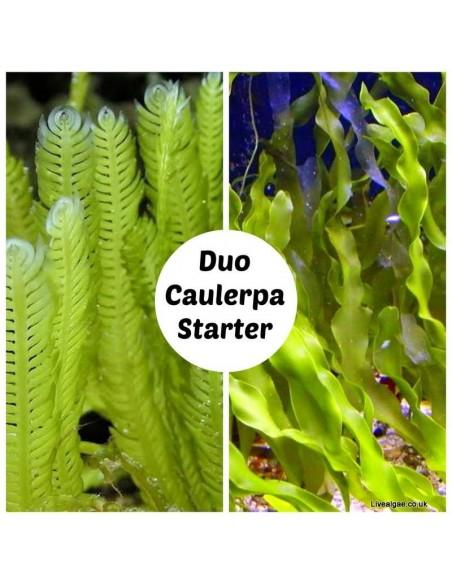 Duo Caulerpa Starter Set