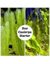 Duo Caulerpa Starter Set