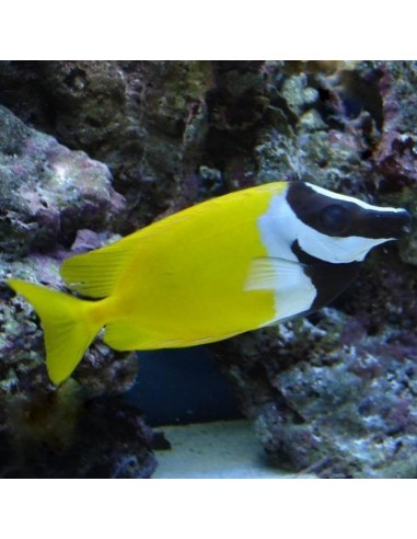 Foxface Marine Algae Eating Fish