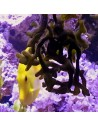 Yellow Tang Marine Algae Eating Fish