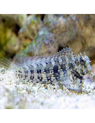 Sailfin/Algae Blenny Marine Algae Eating Fish