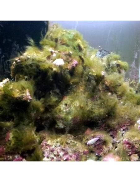 Green Hair Algae Marine Micro Algae