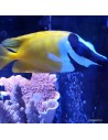 Foxface Marine Algae Eating Fish