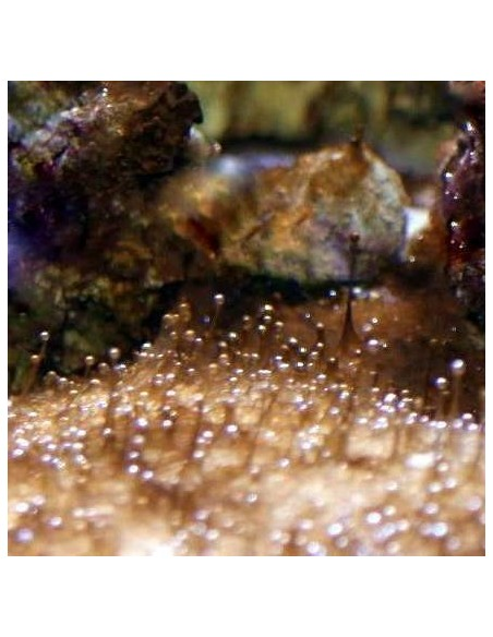 Dinoflagellates marine nuisance micro algae - Identification on Live Algae UK