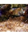 Dinoflagellates marine nuisance micro algae
