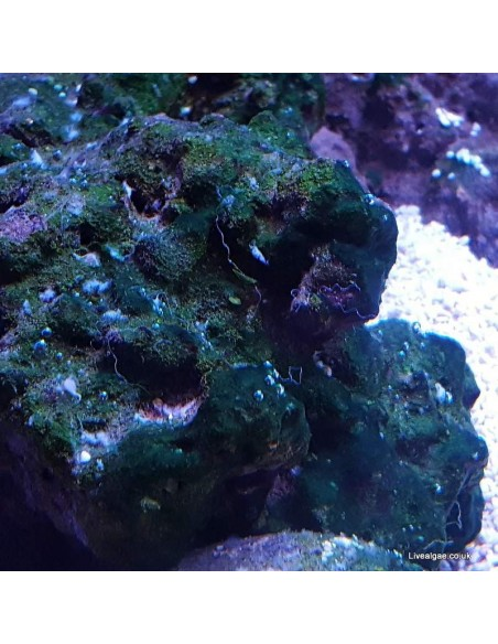 Red Slime Algae (Cyanobacteria) Treatment Marine Aquarium - Identification on Live Algae UK
