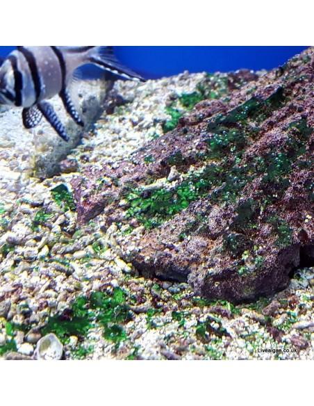 Red Slime Algae (Cyanobacteria) Treatment Marine Aquarium - Identification on Live Algae UK