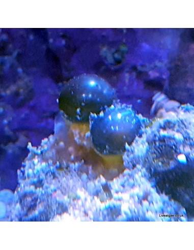 Bubble Algae