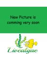 Dwarf Yellow Tip Hermit Crab
