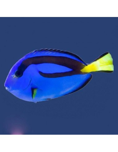 Pacific Blue Tang Marine Algae Eating Fish