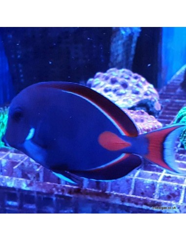 Achilles Tang Marine Algae Eating Fish