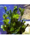 Halimeda Incrassata Green Marine Macro Algae