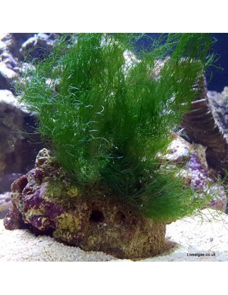 Chlorodesmis Sp. Green Marine Macro Algae
