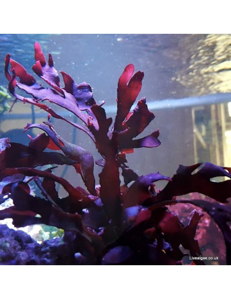 Pink Fauchea Sp. Marine Macro Algae