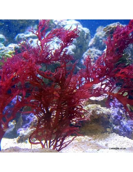 Halymenia sp. Dragon's Tongue Red Macro Algae