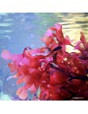 Gracilaria Hayi Red Marine Macroalgae