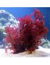 Gracillaria Hayi Red Marine Macroalgae