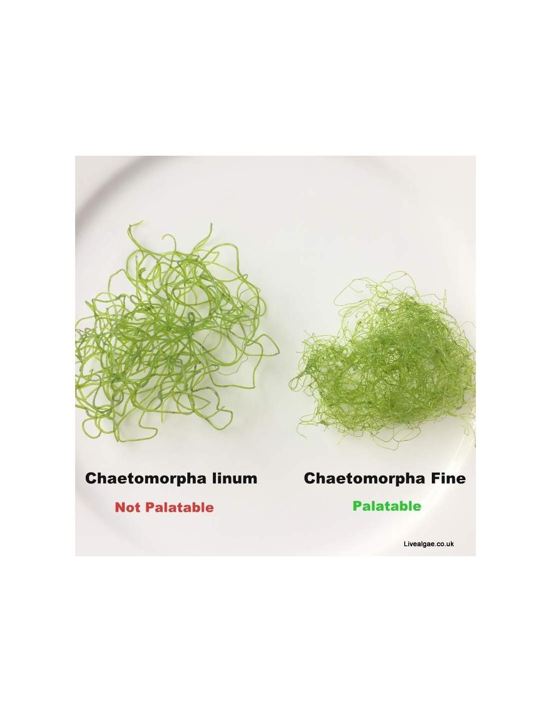Image result for chaetomorpha linum vs. grassa