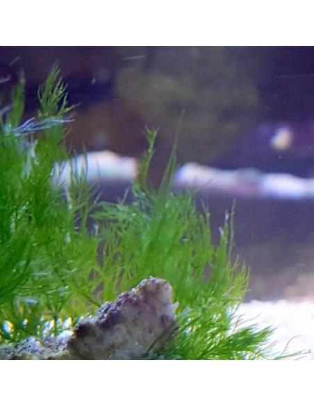 Bryopsis Nuisance Marine Algae