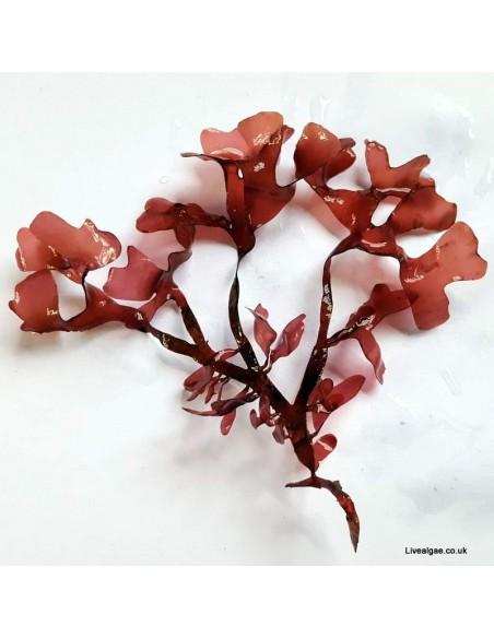 Gracilaria Hayi Red Marine Macroalgae - Live Algae UK
