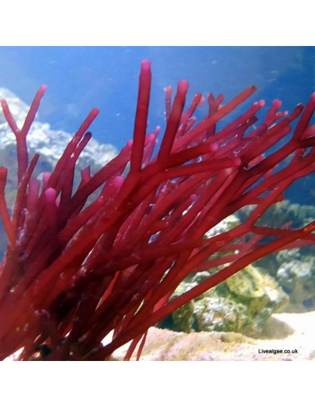 Solieria spp. Red Bamboo Macro Algae