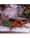 Dwarf Red Tip Hermit Crab