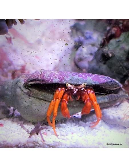 Dwarf Red Tip Hermit Crab