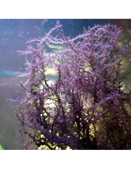 Acanthophora Spicifera Red Marine Macroalgae