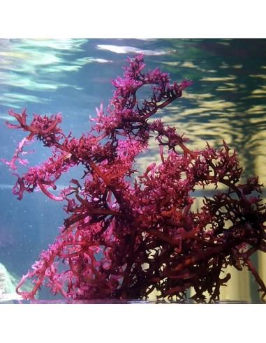 Gracilaria Vermiculophylla Red Marine Macroalgae