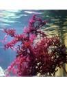 Gracilaria Vermiculophylla