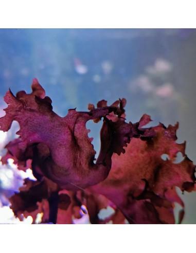 Halymenia Maculata Red Macro Algae