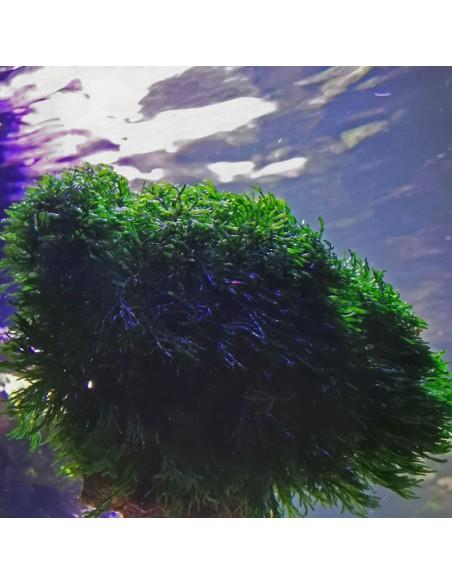 Cladophora Prolifera - Green Bush Marine Macroalgae