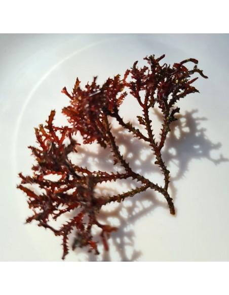 Bryothamnion Triquetrum Red Marine Macroalgae