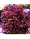 Gracillaria Curtissae Red Marine Macroalgae