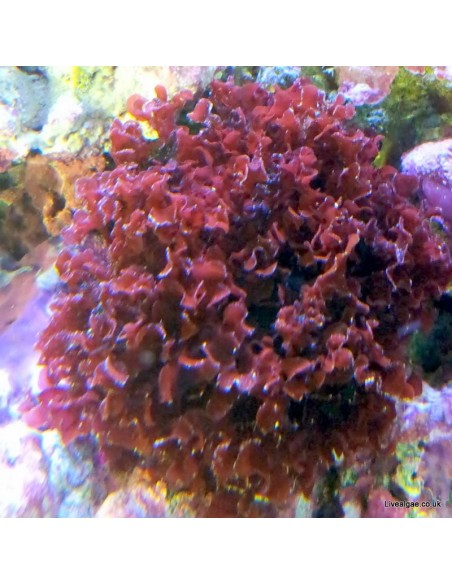 Gracilaria Curtissae Red Marine Macroalgae