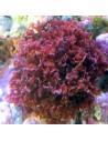 Gracillaria Curtissae Red Marine Macroalgae