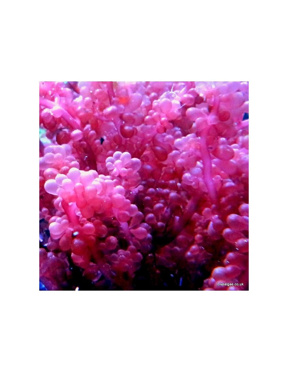 Red Macro Algae! Beautiful for the display tank!