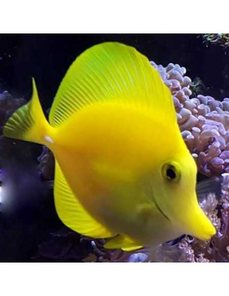 Yellow Tang Marine Algae Eating Fish