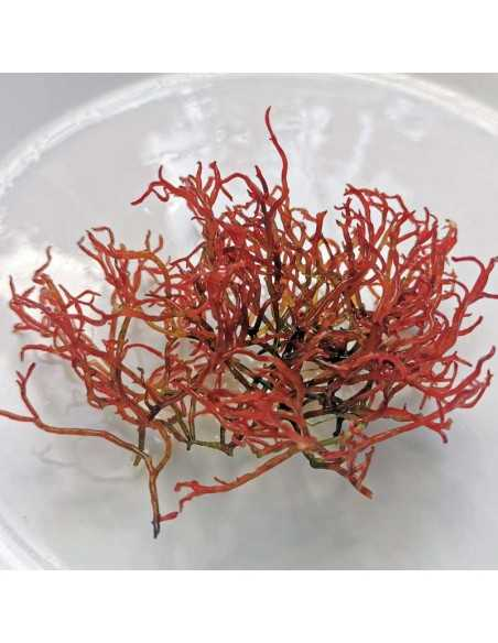 Gracilaria Parvispora - Birds Nest Red Ogo Macroalgae