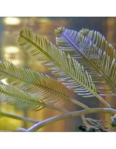 Caulerpa Sertularioides Marine Macroalgae
