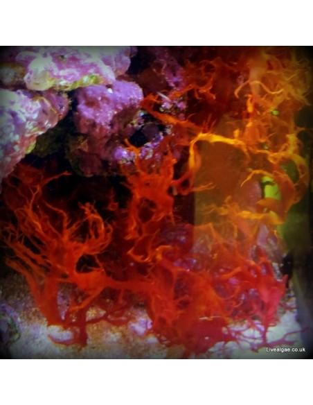 Halymenia Durvillei Dragons Breath Red Marine Macroalgae