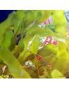 Caulerpa Prolifera Marine Macroalgae
