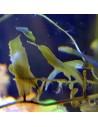 Caulerpa Prolifera Smaller Leaves Marine Macroalgae