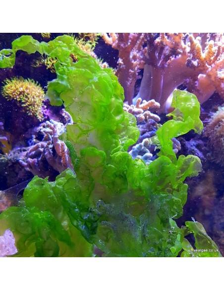 Ulva Lactuca Marine Macroalgae