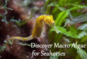 Discouver Macroalgae for Seahorses