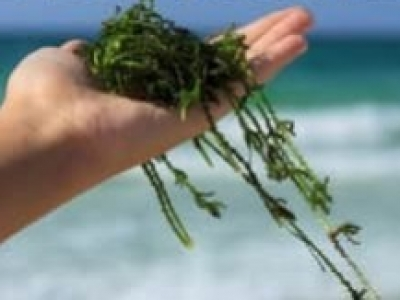 We buy your marine macroalgae